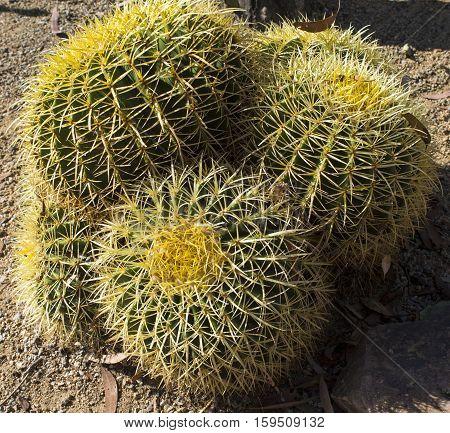 Beautiful cactus in Balboa Park San Diego California.