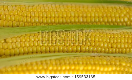Close-up of fresh corn cobs with green leaves