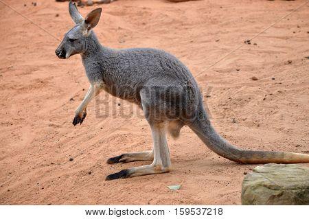 Eastern grey kangaroo Latin name Macropus giganteus
