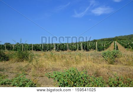 Grapes growing in rows on a sunny day.