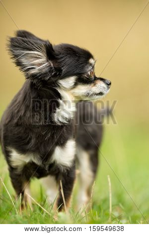 Chihuahua Dog Outdoors