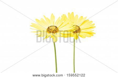 yellow daisy summer on a white background