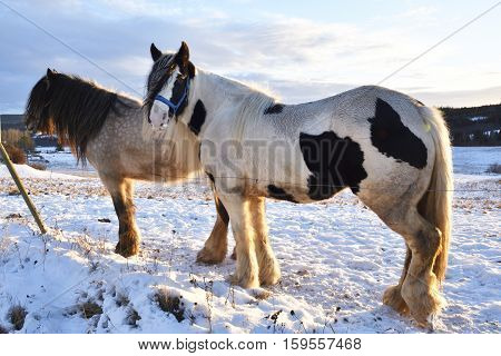 Two horses (Irish Cob) on a meadow with little snow and with the midwinter sun going downpicture from the North of Sweden.
