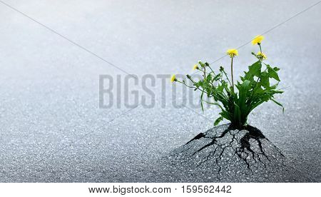 Plant emerging through asphalt against all odds. Symbol for natural forces and fantastic achievements. Copy space.