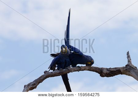 Couple of Hyacinth macaw from Pantanal Brazile. Brazilian wildlife. Biggest parrot in the world. Anodorhynchus hyacinthinus