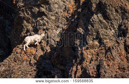 Dall sheep ewe along the cliffs during the rut season