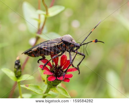 Deadly kissing bug Mexico. Blood sucker,  infection is known as Chagas disease. Insects infected with the parasite Trypanosoma cruzi are extremely dangerous to humans and can cause eventual death.