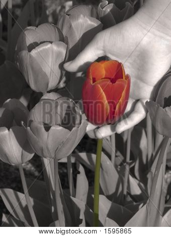 Tulip Choice
