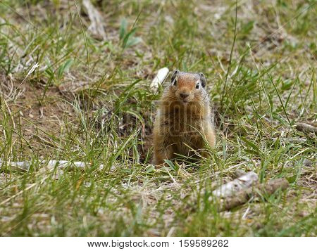 Ground Squirrel. Banff National Park, Canada. Wild animal