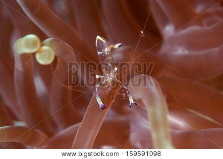 Cleaning shrimp. Macro shot of the transparent shrimp in the anemone coral. Koh Samae San National Parks & Marine Reserves Islands Amphoe Sattahip Chon Buri Thailand.