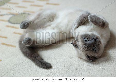 Playful Pet Cat