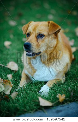 Red Dog Lying On The Grass