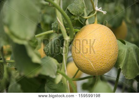 Cantaloupe Growing In Greenhouse