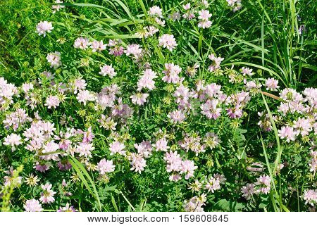 Pink clover (Trifolium repens). Flower of the clover. Trifolium Repens L.