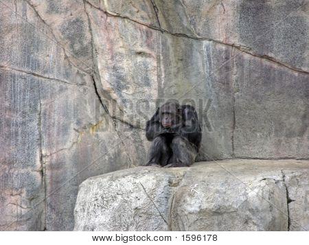 Stonewall Chimpanzee