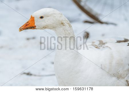 White goose on a farmstead home in winter.