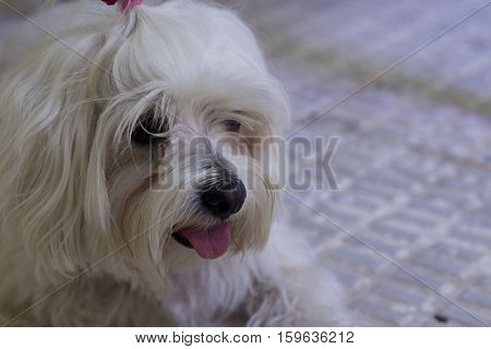 White small dog in playfulness. Portrait. No people