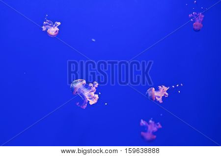 Jellyfish In Aquarium