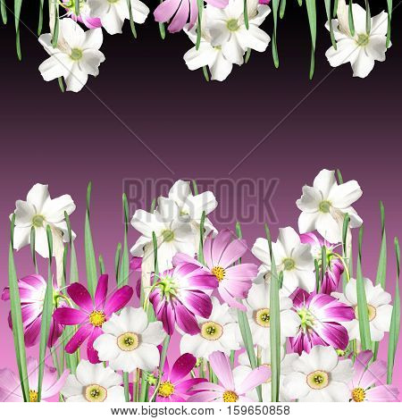 Beautiful floral background of white daffodils and pink cosmo