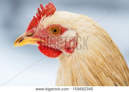 young rooster head on a farmstead close-up.