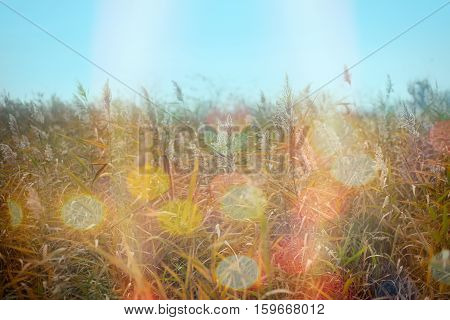 Dry reed (cane, bulrush) in meadow and beautiful autumn day