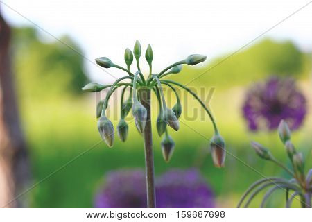 Allium Siculum, Also Known As Sicilian Honey Lily
