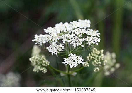White Wildflower Aegopodium Podagraria