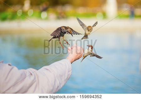 Man Feeding Sparrows And Starlings