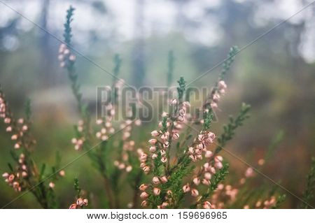 Pink Heather (Calluna vulgaris) in forest at Fall