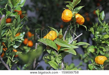 Orange Clementines In A Lush Orchard Of Orangery