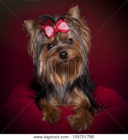 A cute Yorkshire terrier on a red background and pillow