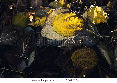 Fallen dark leaves in the woods. Background with space for your text