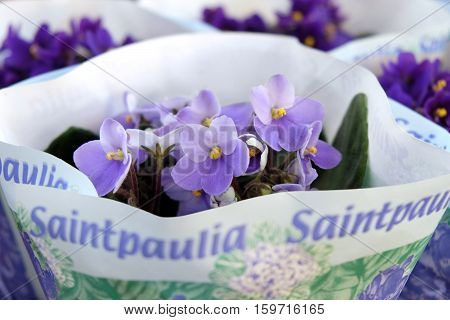 Saintpaulia in packaging on store shelves close-up