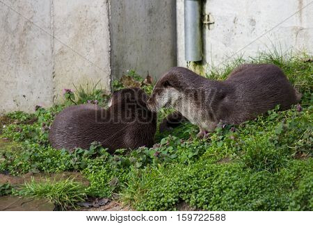 A pair of curious European otters On the meadow