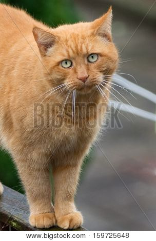 Big ginger cat with ling whiskers walking on wooden fence