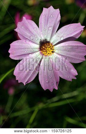 Light Purple Flower With A Dew Drop