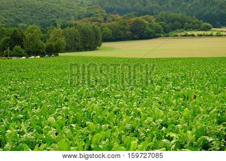 Green field with crop in Germany in summer.