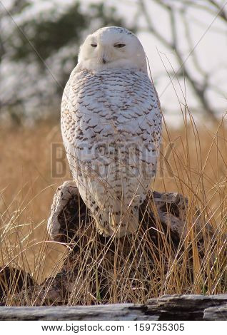 Giant Snowy Owl disguised in the dune grasses of Protection Island patiently awaits for prey to hunt.