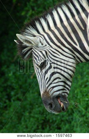 Постер, плакат: Африканские зебры