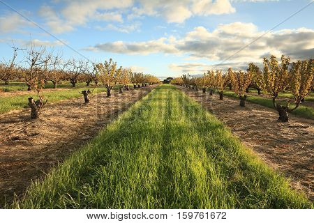 Rows of cherry trees near Young South West Slopes NSW Australia