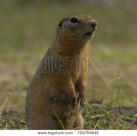 The little gopher standing on hinder legs