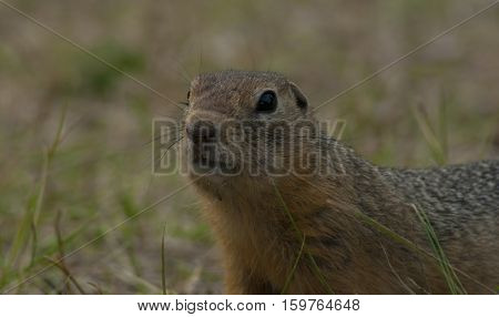 Little gopher in the summer against the background of a greenish-yellow grass