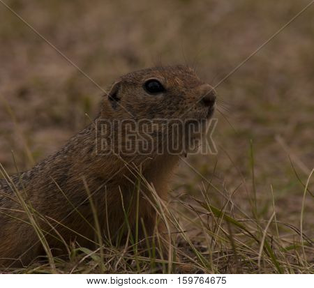 Portrait of a gopher at sunset in shades of red color