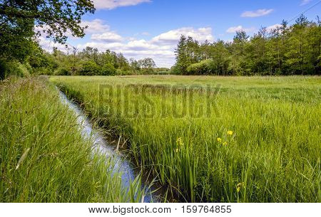 Yellow blooming irises on the side of a ditch diagonal in the image. It's spring and all kinds of other wild plants and grasses are also thriving and flowering.