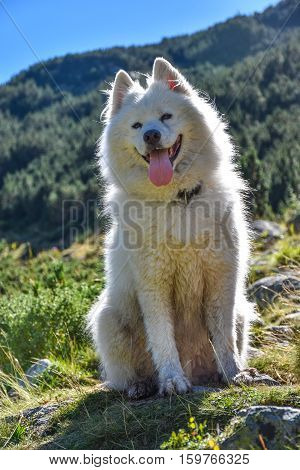 A furry white samoed dog sitting contre-jour in the mountains