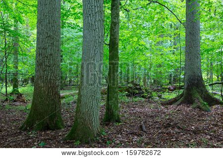Primeval Deciduous Stand Of Natural Stand In Summer