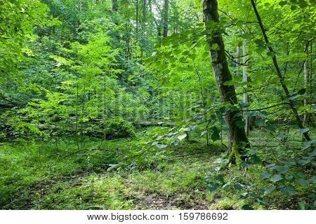 Deciduous Natural Stand In Summer
