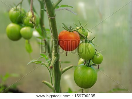 Tomatoes, one ripe red and some green on a branch in the greenhouse, focus on foreground