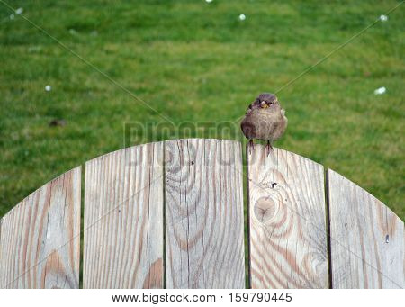 Auburn sparrow sitting on the wooden back of a chair or a fence. He looks incredulous and curiously