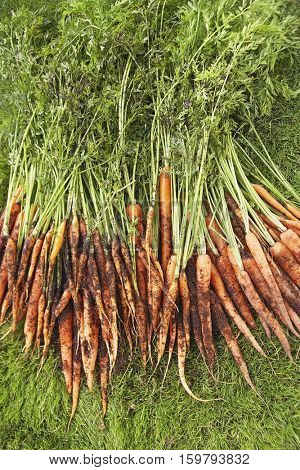 Freshly picked carrots on lawn